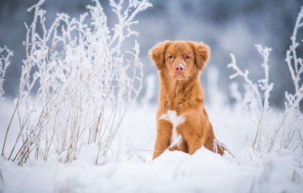 Картинка зима, иней, поле, трава, взгляд, снег, природа, фон, голубой, собака, светлый, рыжий, сугробы, щенок, прогулка, …