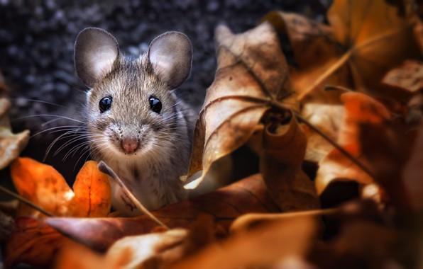 Картинка осень, листва, мышка