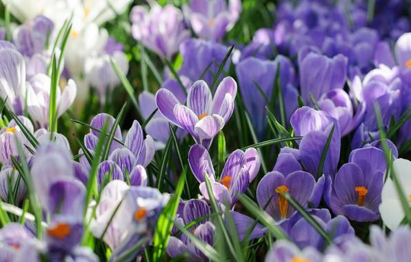 Фото обои лепестки, весна, Шафран, Крокусы