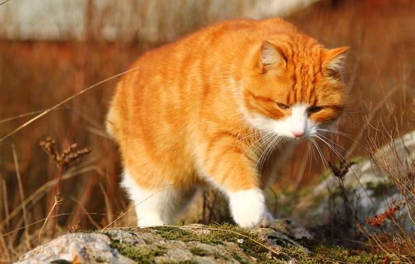 Картинка осень, кошка, кот, природа, камни, фон, мох, рыжий, рыжая, прогулка, идет