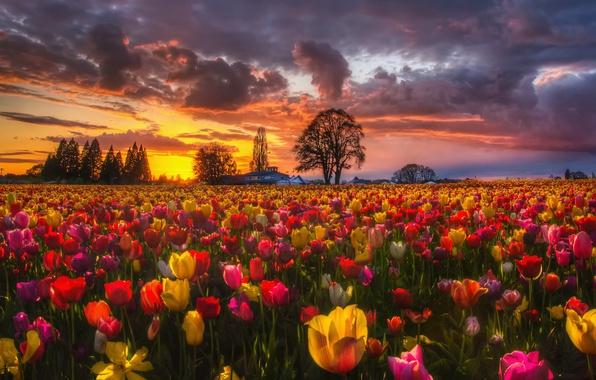 Картинка поле, закат, цветы, природа, весна, вечер, тюльпаны