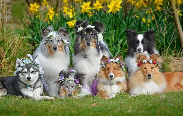 Картинка собаки, цветы, нарциссы, Шелти, венки, Бордер-колли, Шетландская овчарка, дружная компания, Аляскинский кли-кай