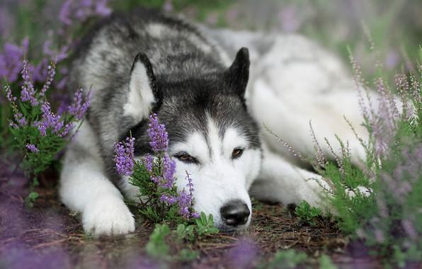 Фото обои собака, вереск, Сибирский Хаски