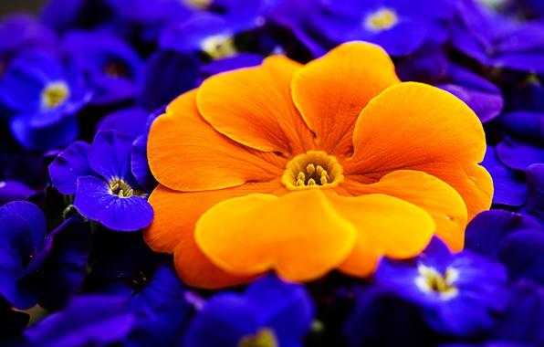 Картинка макро, оранжевый, первоцвет, примула