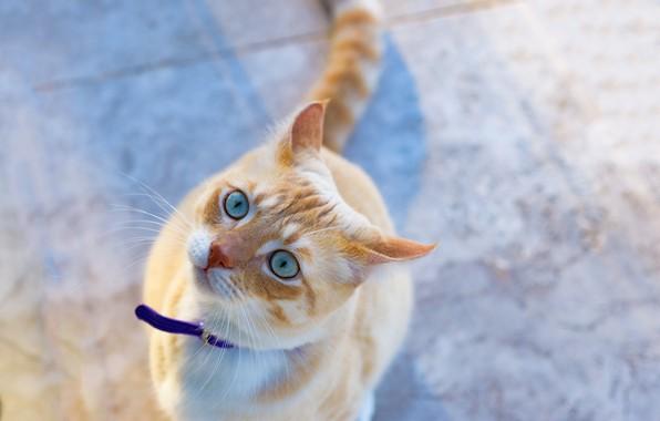 Картинка взгляд, мордочка, голубые глаза, рыжий кот, котейка
