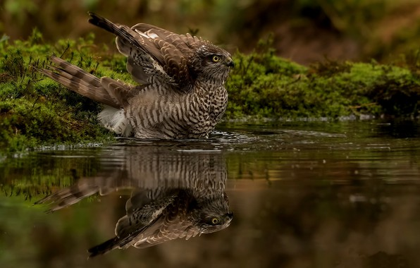 Картинка вода, природа, отражение, птица