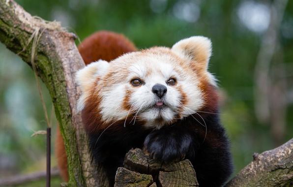 Картинка морда, красная панда, малая панда, пятнистый