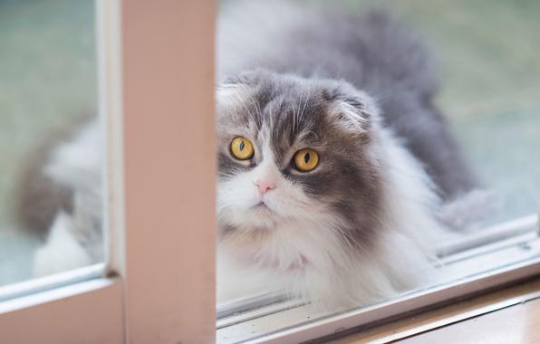 Картинка кошка, кот, взгляд, фон, портрет, светлый, окно, мордочка, серая, желтые глаза, пушистая, шотландская, вислоухая, дымчатая