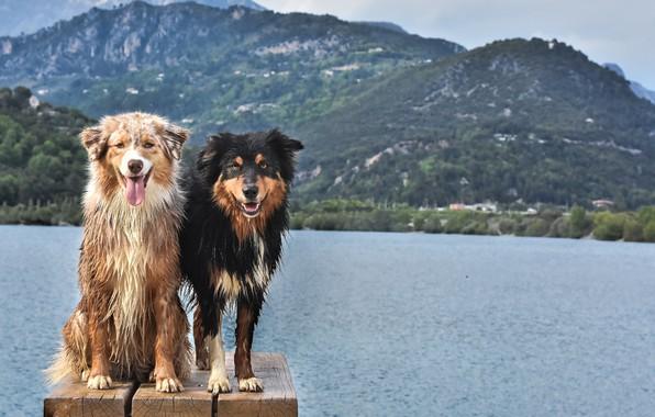 Картинка Взгляд, Забор, Собаки, Двое, Животные, Австралийская Овчарка