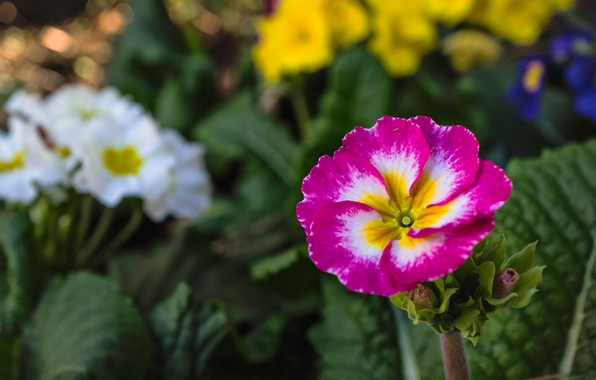 Картинка цветок, листья, природа, лепестки, примула