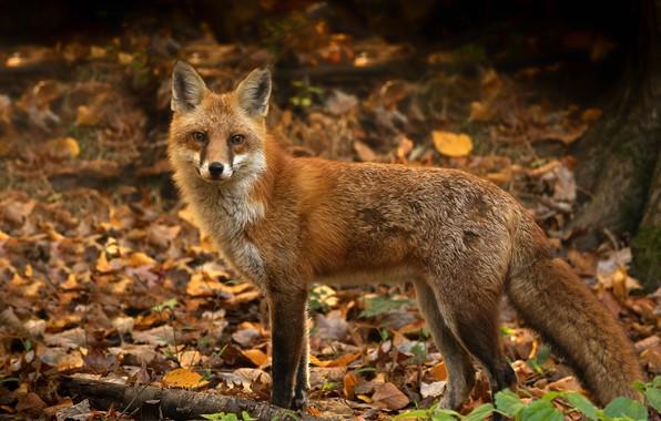 Картинка осень, листья, природа, лиса, рыжая, боке