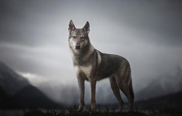 Картинка горы, собака, Morrow the Untamed Spirit