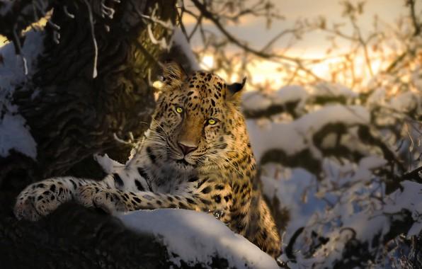 Картинка зима, снег, ветки, природа, дерево, животное, хищник, ирбис, барс, Thai Phung