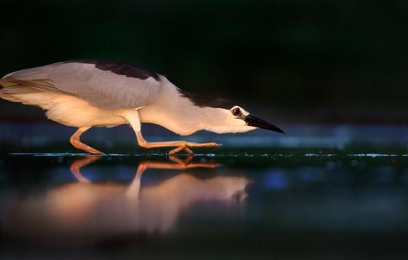 Картинка вода, свет, тьма, птица, мрак, охота, цапля