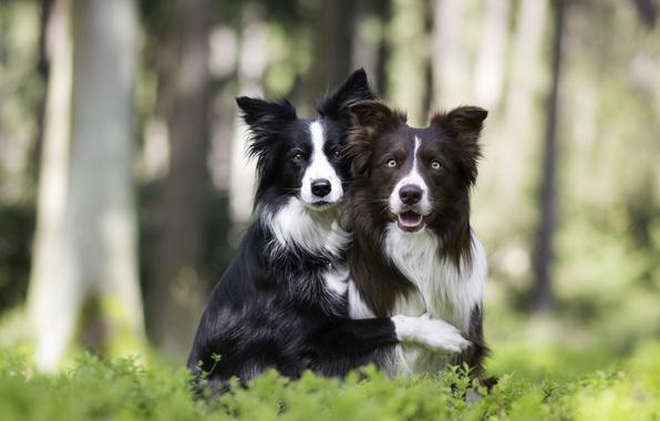 Картинка собаки, природа, парочка, друзья, боке, две собаки, обнимашки, Бордер-колли