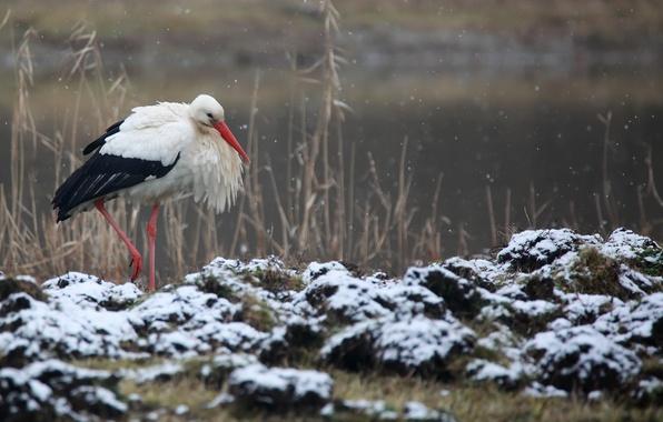Картинка зима, природа, птица, аист