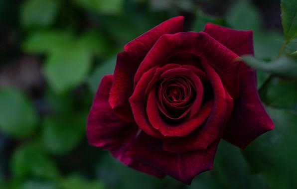 Картинка макро, роза, лепестки, бордовый