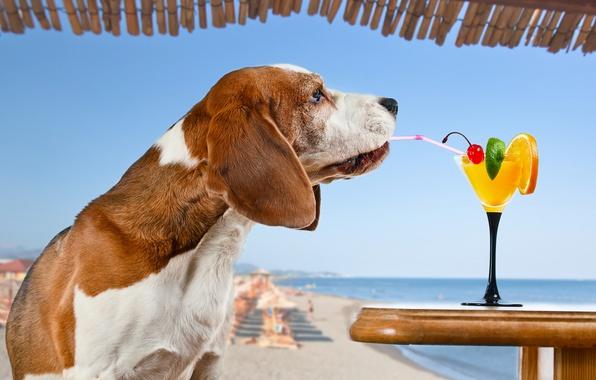Картинка море, пляж, солнце, вишня, апельсин, ситуация, собака, юмор, горизонт, коктейль, лайм, трубочка, напиток, столик, Бассет-хаунд, …