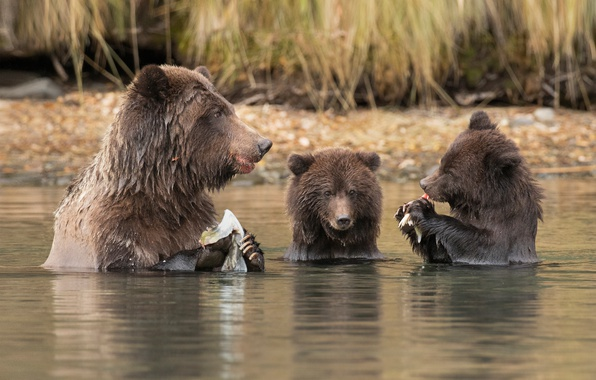 Картинка вода, река, медвежата, обед, медведица, удачная рыбалка