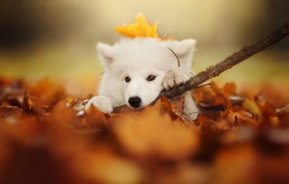 Картинка осень, взгляд, листья, собака, ветка, щенок, мордашка, боке, Самоед