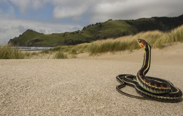 Картинка песок, море, небо, трава, взгляд, пейзаж, горы, холмы, берег, змея, фауна, рептилии