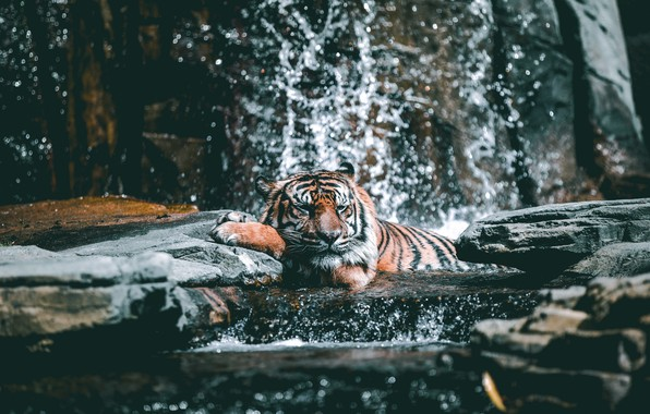 Картинка Tiger, Relax, Water, Cat, Stones, Drops