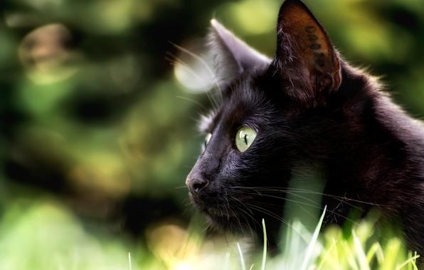 Картинка кошка, взгляд, мордочка, профиль, боке, чёрная кошка