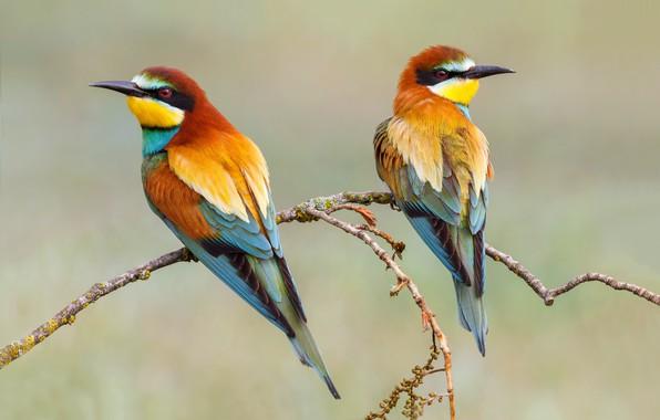 Картинка птицы, фон, ветка, пара, щурки золотистые, щурка