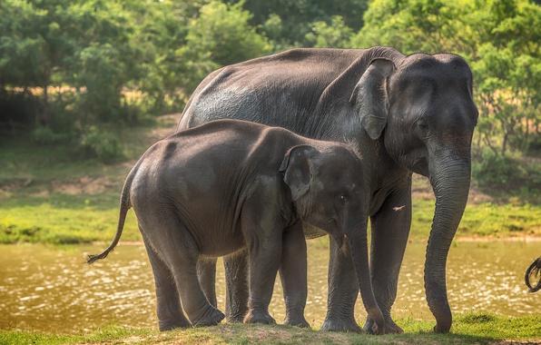 Картинка зелень, трава, деревья, река, слонце, слоны, боке, Шри-Ланка, Yala National Park