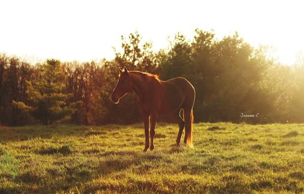 Картинка лето, солнце, свет, блики, конь, лошадь, утро, пастбище, луг, рыжий, дремлет