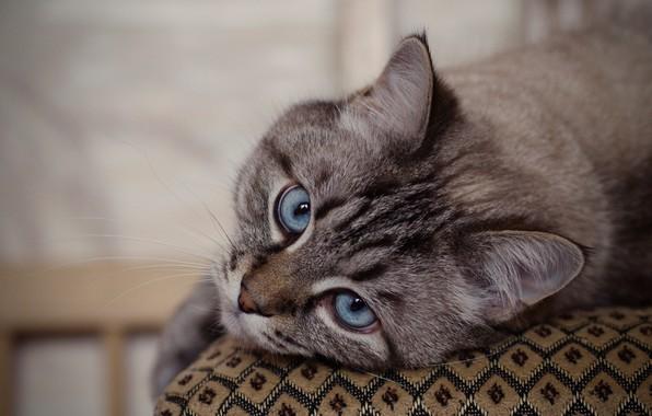 Картинка кошка, кот, взгляд, мордочка, голубые глаза, котейка