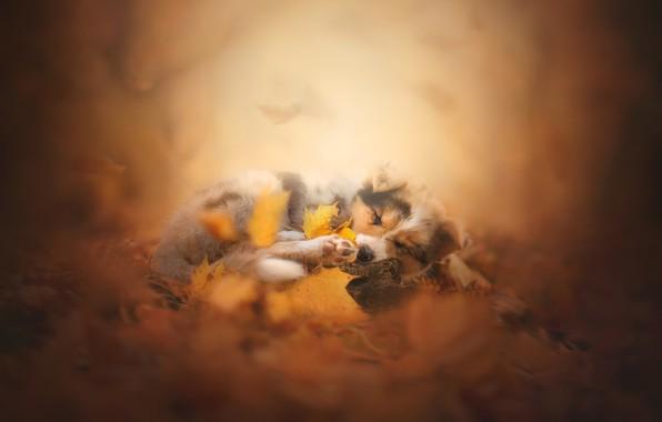 Картинка осень, листья, сон, собака, боке, пёсик, Австралийская овчарка, Аусси, спящий щенок