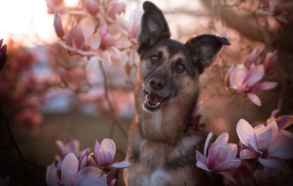 Картинка морда, цветы, ветки, улыбка, портрет, собака, весна, цветение, выражение, немецкая овчарка, пёс, овчарка, магнолия, немецкая