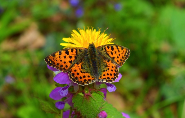 Картинка цветок, Макро, Весна, Бабочка, Spring, Боке, Macro, Butterfly