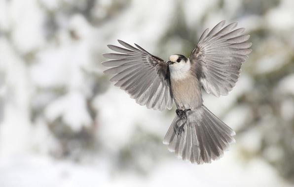 Картинка птица, крылья, перья, хвост, боке, Канадская кукша