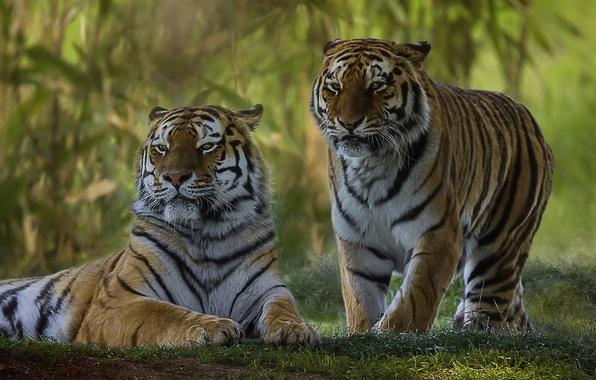 Фото обои парочка, тигры, дикая кошка