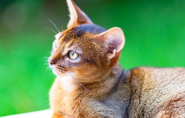 Картинка кошка, фон, портрет