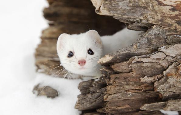 Картинка зима, животные, снег, природа, широкоформатные, горностай
