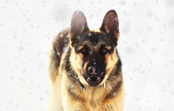 Картинка взгляд, друг, собака, восточно европейская овчарка