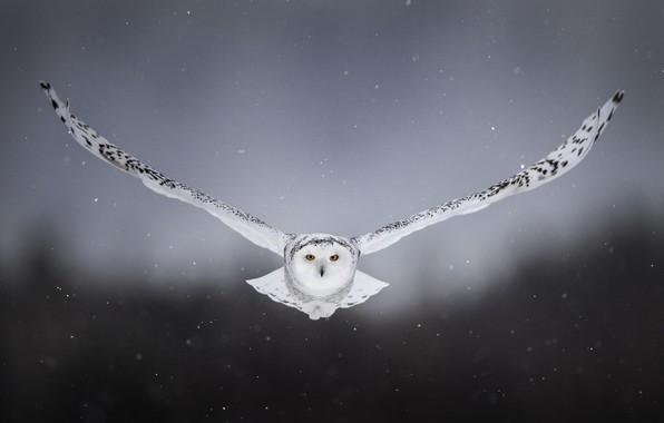 Картинка снег, фон, сова, птица, крылья, полёт, полярная сова, белая сова