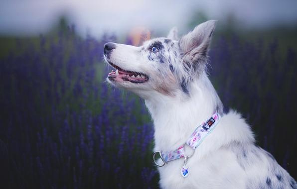 Картинка морда, собака, лаванда, боке, Австралийская овчарка, Аусси