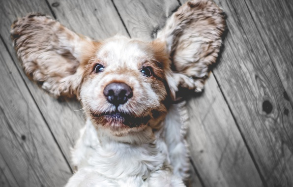 Картинка взгляд, морда, собака, уши, Кокер-спаниель