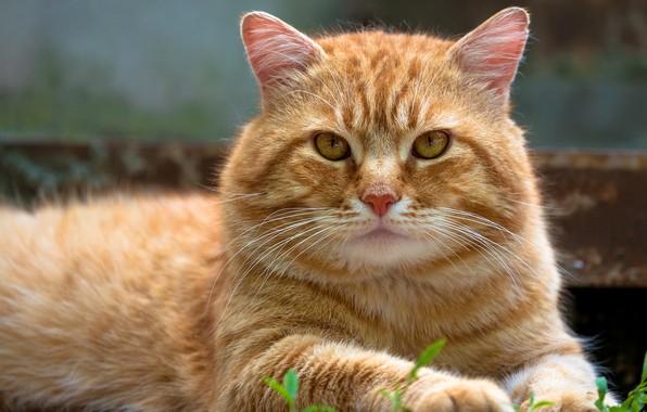 Картинка кошка, кот, взгляд, морда, природа, фон, портрет, лапы, рыжий, лежит, полосатый, котэ, желтоглазый, Васёк