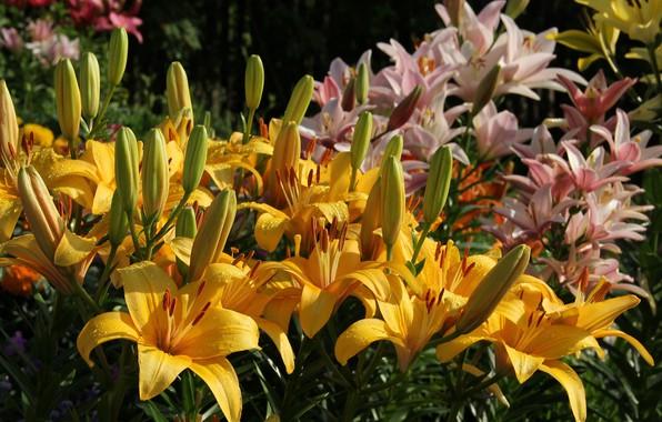 Картинка лето, цветы, природа, лилии, красота, сад, цветение, дача, июль