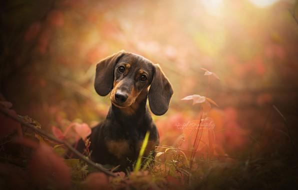 Картинка взгляд, морда, собака, уши, боке, Такса