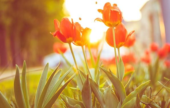 Картинка цветы, лепестки, тюльпаны