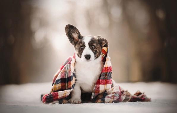 Картинка взгляд, щенок, плед, боке, пёсик, Вельш-корги