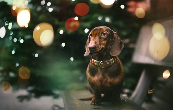 Картинка друг, праздник, собака, такса