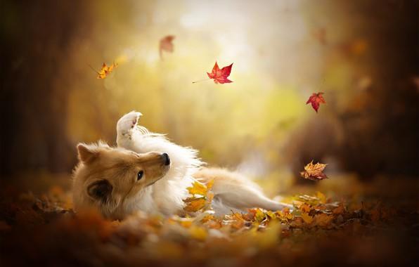 Картинка осень, листья, игра, собака, боке, Шелти, Шетландская овчарка