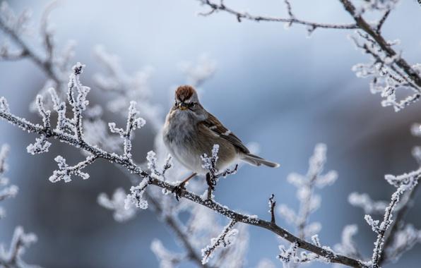 Картинка зима, иней, ветки, птица, боке, Древесная воробьиная овсянка